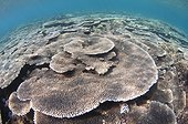Shallow Hard Coral Garden - Komodo  Indonesia