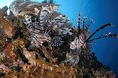 Lionfish hunt small baitfish on reef - Komodo Indonesia