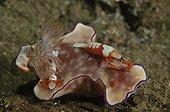 Emperor shrimps on a Nudibranch on reef - Komodo Indonesia