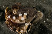 Coconut Octopus in a broken bottle with eggs -  Indonesia