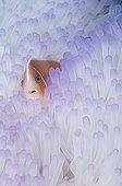 Pink anemonefish in bleached Anemone - Raja Ampat  Indonesia