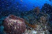 Giant barrel sponge and Convict blennie-Raja Ampat Indonesia