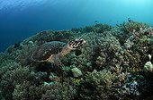 Hawksbill Turtle and Soft Coral - Raja Ampat  Indonesia
