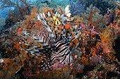 Lionfish and Soft Corals - Raja Ampat  Indonesia