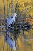 Grey Heron on a stump at Alder lakeside -France