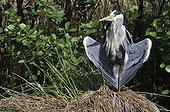 Grey Heron warming on a tuft of sedge - France