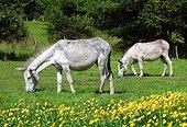 Common donkeys light dress in a field of buttercups