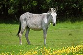 Common donkey light dress in a field of buttercups