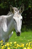 Portrait of Common donkey light dress and buttercups