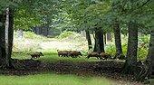 Eurasian wild boar crossing a driveway - Normandy France