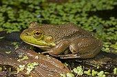 Bullfrog - New York  USA