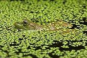 Bullfrog in water - New York  USA