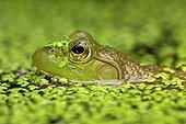 Portrait of Bullfrog in water - New York  USA