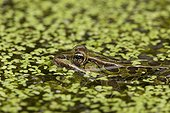 Leopard frog in water - New York  USA
