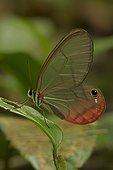 Blushing Phantom on a leaf