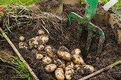 Harvest of Potatoes 'Roseval' in a kitchen garden