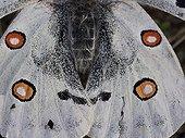 Posterior wings of Apollo - Franche-Comté France