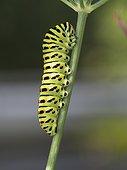 Swallowtail caterpillar on Fennel - Franche-Comté France