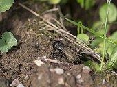 Field cricket on earth - Franche-Comté France