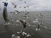 Brown Gulls and shrimp fishing net - North Sea