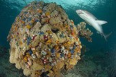 Acropora coral with Whitetip reef shark - Fiji