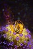 Coral hermit crab and Coral polyps - Haapai Tonga