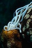 Leopard Sea Cucumber - Tonga