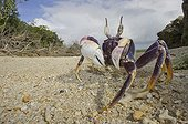 Ghost crab on beach - Haapai Tonga