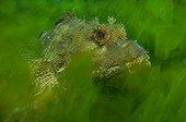 Eastern red scorpionfish in ulva kelp - New Zealand
