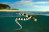 Banded sea krait on surface - Amédée islet New Caledonia
