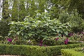 Fig 'Brown Turkey' Château de Carles garden - France