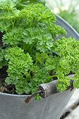 Curly parsley pot tin - France