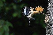 Hoopoe feeding in flight - France