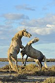 Contest between two Camargue horses in the marshes - France