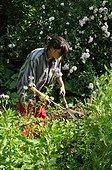 Récolte de Phacélie au jardin pour engrais vert ; L'enfouissement de la phacélie apporte de la fertilité au sol.