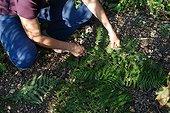 Fern leaves mulch on sowings in a garden