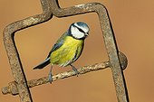 Blue Tit perched on a piece of steel in winter - GB