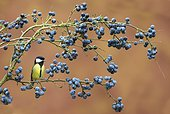Great Tit perched on a Blackthorn in winter - GB