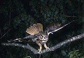 Eagle Owl - France