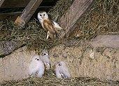 Barn Owl - France