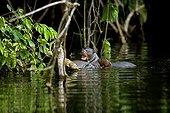 Loutre géante dans le Parc de Manu au Pérou