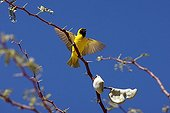 Southern Masked Weaver - Africa
