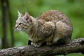 Chat sauvage d'Afrique