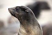 Cape fur seal - Namibia