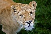 Lion - Africa
