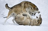 Eastern Timber Wolves fighting