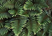Polystichum fern in  garden