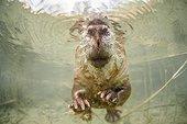 """European beaver underwater - Savoie France ; """"Golden Turtle"""" 2013 - The underwater world"""