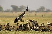 Vautours oricou et Vautours africains  - Chobe Botswana