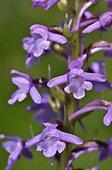 Fragrant orchid flowers - Alps France ; Prairie Super Morzine, 1,760 m